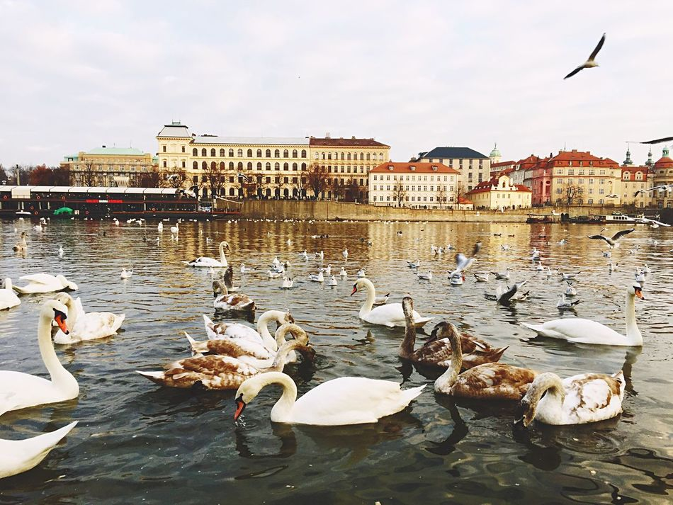 Christmas day in Prague. Christmas Time Christmas Around The World Showcase: December Feeding The Birds Swans Riverbank River Vltava Christmas Day Christmas2015 Praguelover Adapted To The City
