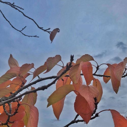 Fall...the lady leaves falling Nature Beauty In Nature Leaf Day Low Angle View Outdoors Growth Sky No People Fragility Branch Flower Close-up Tree