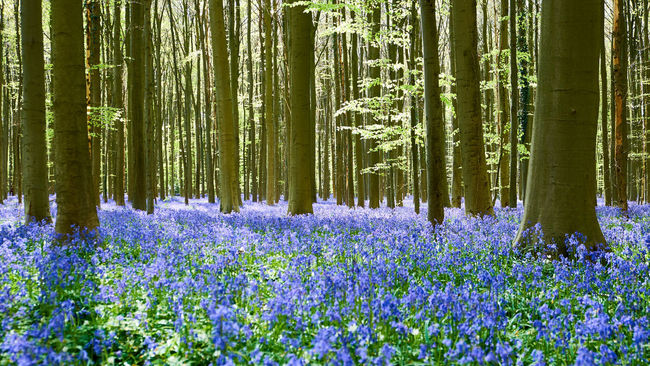 A bluebells forest in Belgium - Abundance Beauty In Nature Blooming Bluebells Botany Exploring Flower Forest Fragility Freshness Growing Growth Hallerbos Idyllic In Bloom Nature Plant Purple Scenics Tranquil Scene Tranquility Tree The Great Outdoors With Adobe Feel The JourneyWoodLand