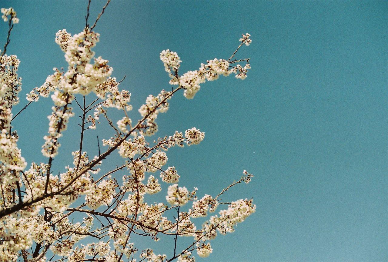 Urban Spring Fever Film Photography Minolta Fuji Korea Busan Pnu Blossom Flower