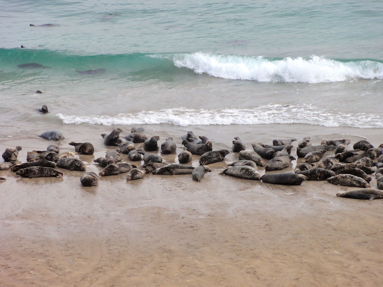 Animal Themes Animals Beach Beauty Group Of Seal Nature Ocean Outdoors Power In Nature Relaxation Sand Sea Seals Seals On Beach Shore Swiming Water Wave