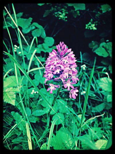 Early Purple Orchid Wild Flowers