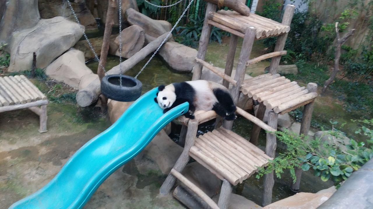 animal themes, zoo, mammal, day, outdoors, no people, domestic animals, bamboo - plant, panda - animal, giant panda