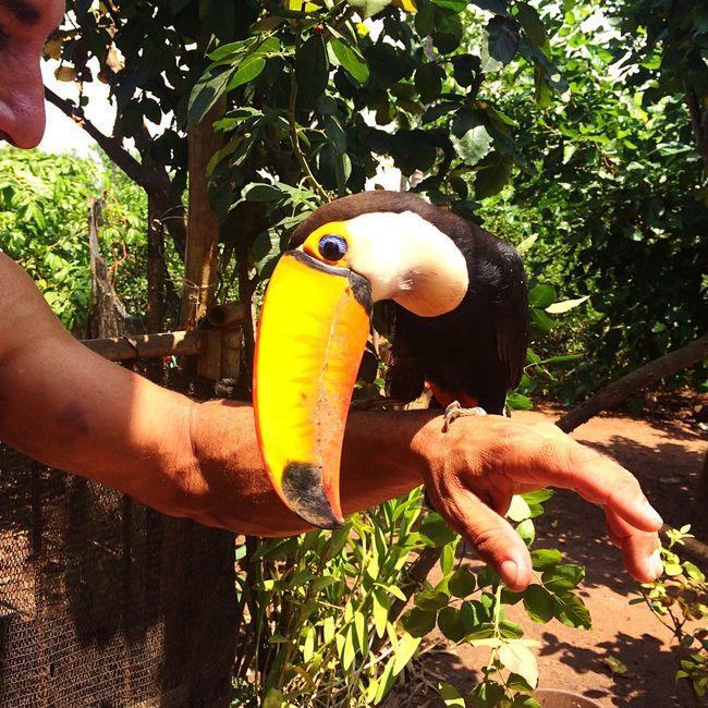 Tucan Tucano Naturelover Natureza Fauna Brazil ❤️