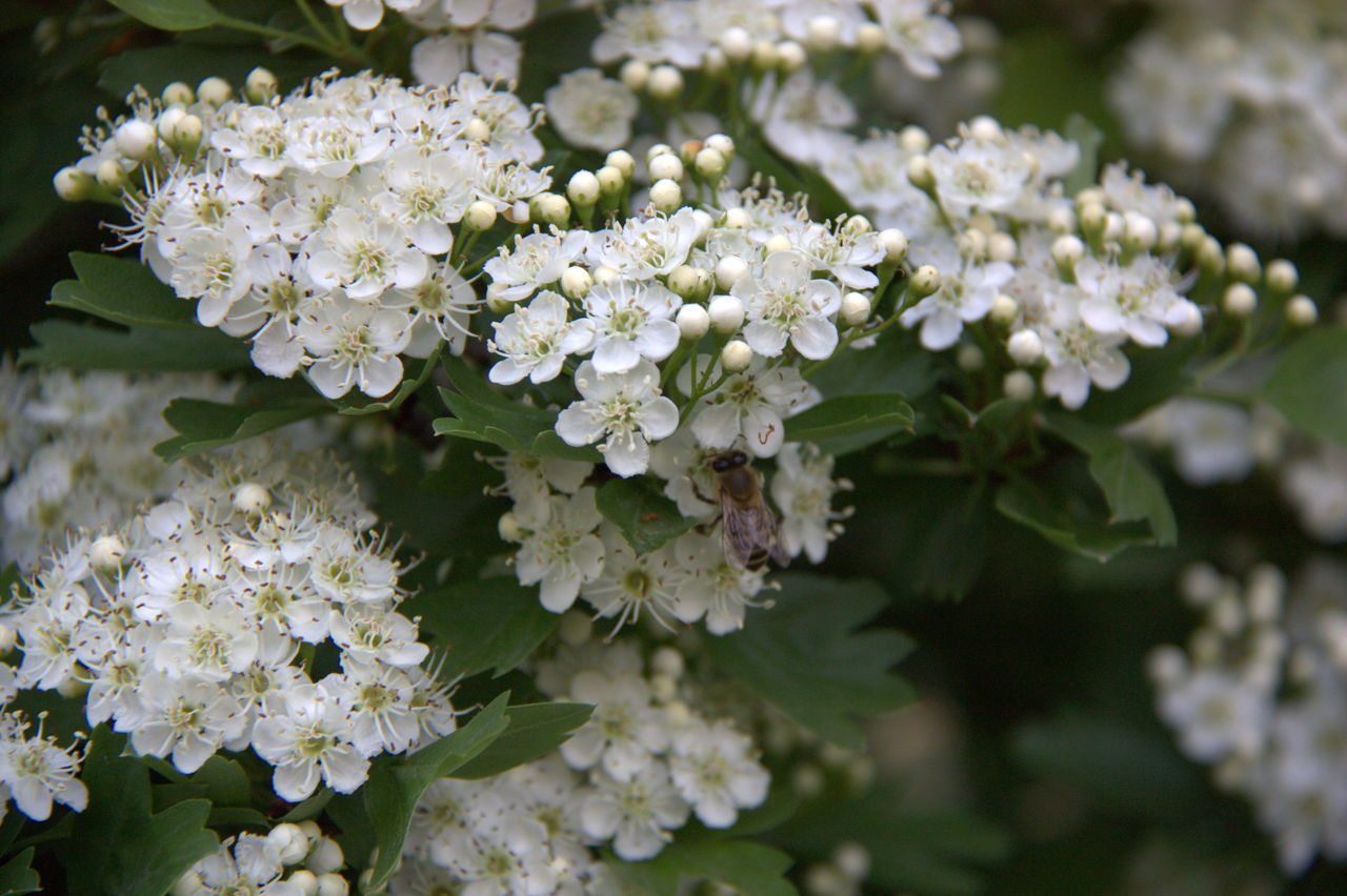 Parco Centenario Beauty In Nature Bee Close-up Day Flower Flower Head Fragility Freshness Green Color Growth Hydrangea Leaf Nature No People Outdoors Petal Plant Spring Spring Flowers Spring Into Spring White Color