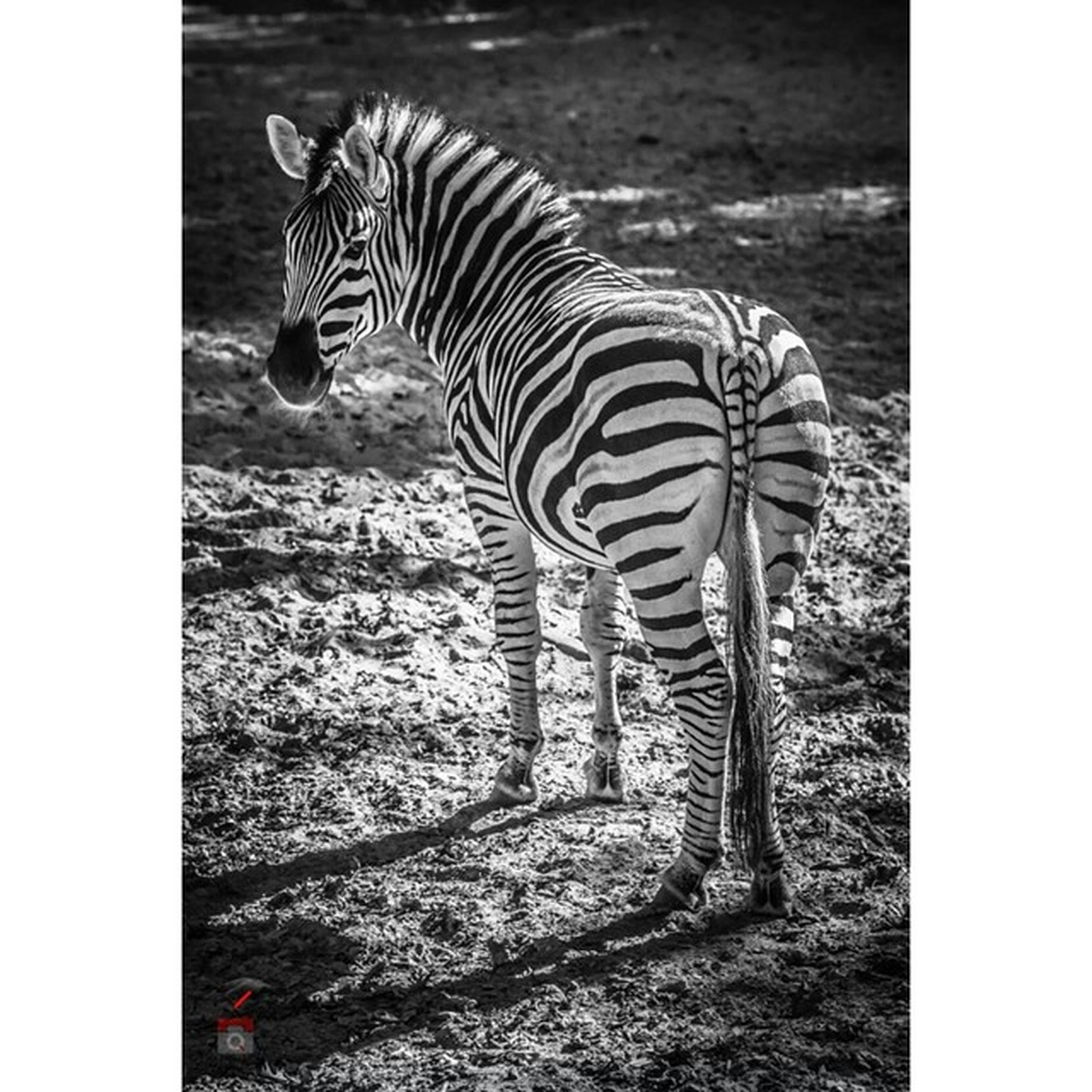 animal themes, transfer print, animals in the wild, wildlife, zebra, auto post production filter, one animal, safari animals, mammal, striped, standing, field, herbivorous, full length, nature, zoology, grazing, bird, animal markings, two animals