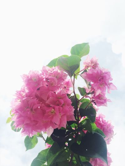I am out in the sun. Flower Pink Color Beauty In Nature Leaf Petal Freshness Blossom Blooming
