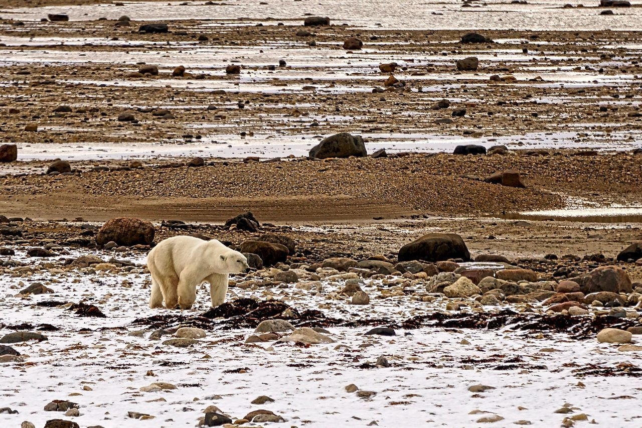 Lean adult polar bear waiting for freeze up in Churchill, Manitoba Animal Migration Animal Themes Bear Beauty In Nature CHURCHILL Day Environment Global Warming Mammal Nature Nature No People North Outdoors Polar Bear Powerful Predator Water Wild Animal Wildlife