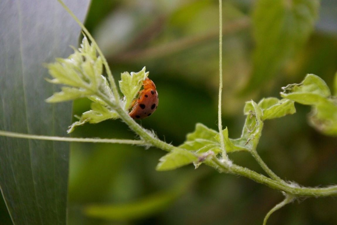 Animals In The Wild Animal Themes One Animal Wildlife Insect Ladybug Plant Close-up Selective Focus Green Color Zoology Growth Nature Focus On Foreground Vibrant Color Day Beauty In Nature Outdoors Tiny Bug
