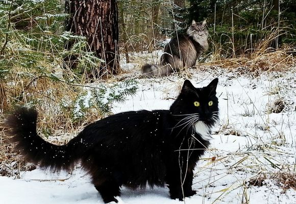 Norwegian forestcat by Heike Schein