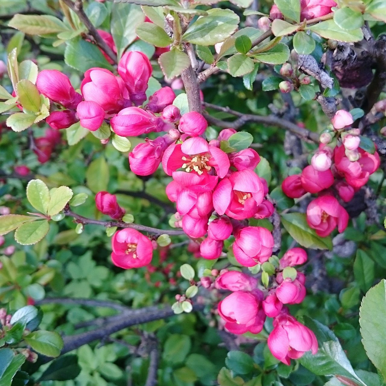 growth, pink color, flower, beauty in nature, nature, freshness, outdoors, petal, plant, no people, day, fragility, leaf, tree, green color, blooming, branch, close-up, flower head