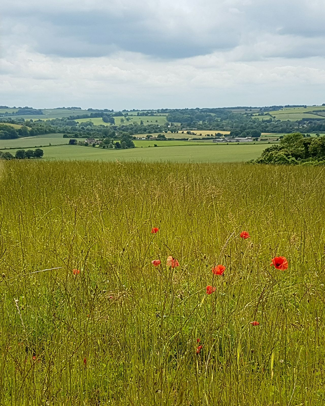 Downland Hampshire  Poppies  Meadowlands Southdownsway