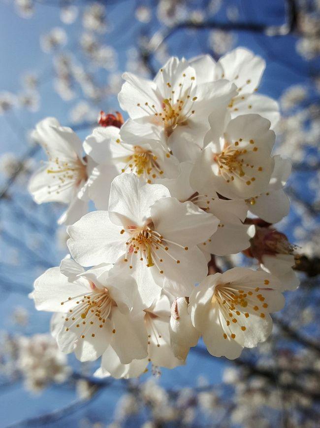 Spring at Himeji Castle. Himeji Castle, Himeji, Japan. Galaxy Note 5 | 4.3mm equiv 28mm | 1/2064sec | f/1.9 | iso 40 Wanderlust Spring Sakura Flower Blossom