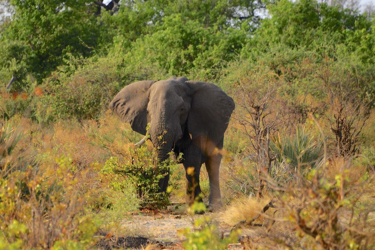 African elephant in the Okavango Delta Botswana Botswana Africa African Elephant Animal Themes Animal Wildlife Animals In The Wild Day Elephant Grass Mammal Nature No People Okavango Delta Okavango River One Animal Outdoors Safari Animals Tusk Walking
