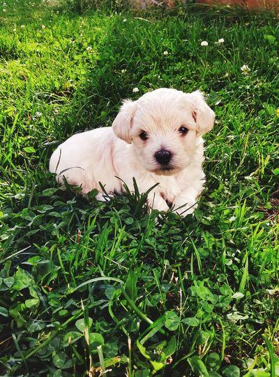 Puppy Love White Bichon Maltese Grass Cuddly Pet