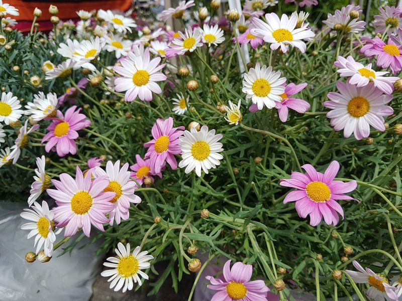 Flowers in the marketplace - Beauty In Nature Blooming Cosmos Flower Field Flower Flower Head Fragility Freshness Growth High Angle View Nature Osteospermum Outdoors Petal Plant Pollen Springtime Yellow Zinnia