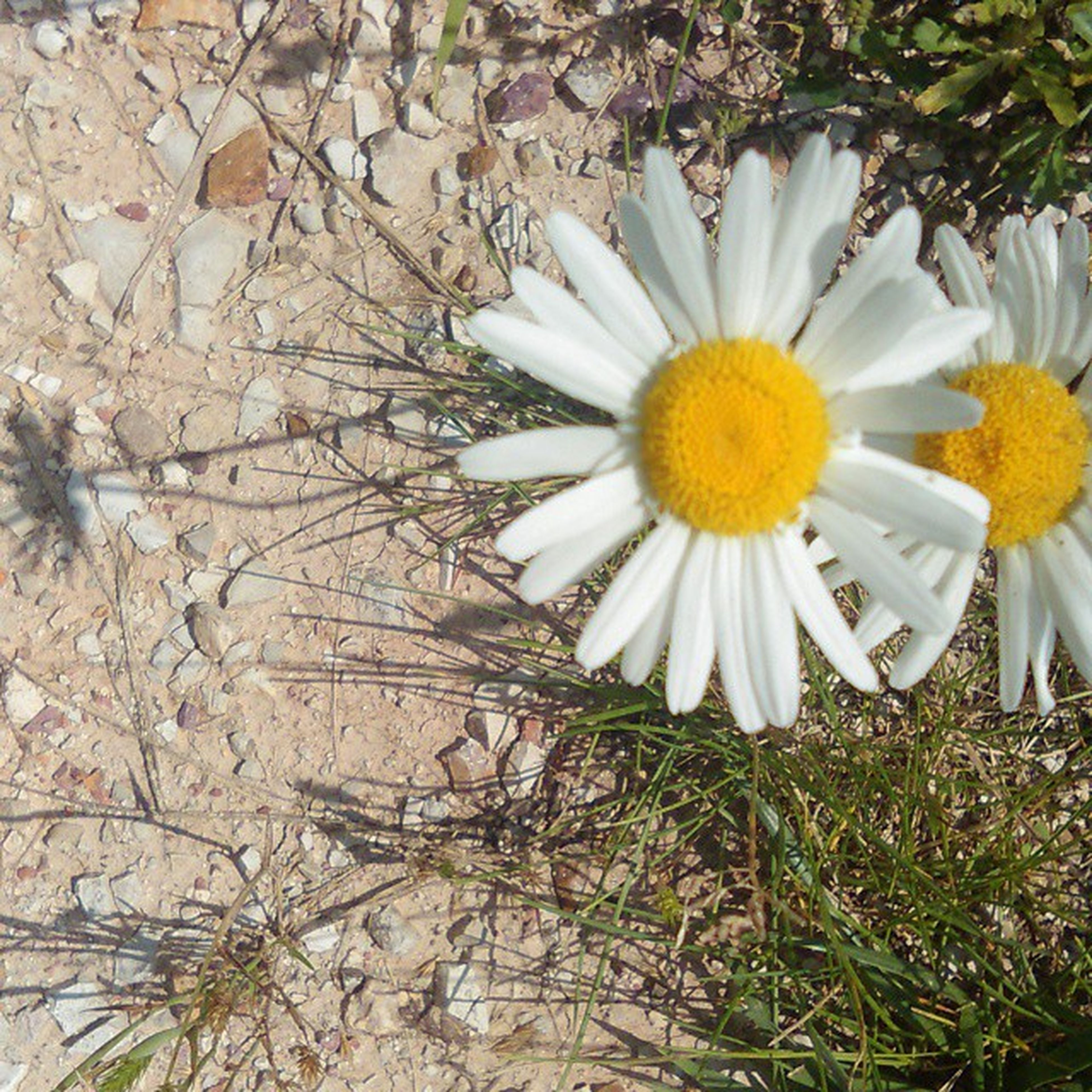 flower, petal, fragility, white color, flower head, freshness, high angle view, growth, plant, pollen, blooming, nature, daisy, field, beauty in nature, yellow, day, close-up, outdoors, in bloom
