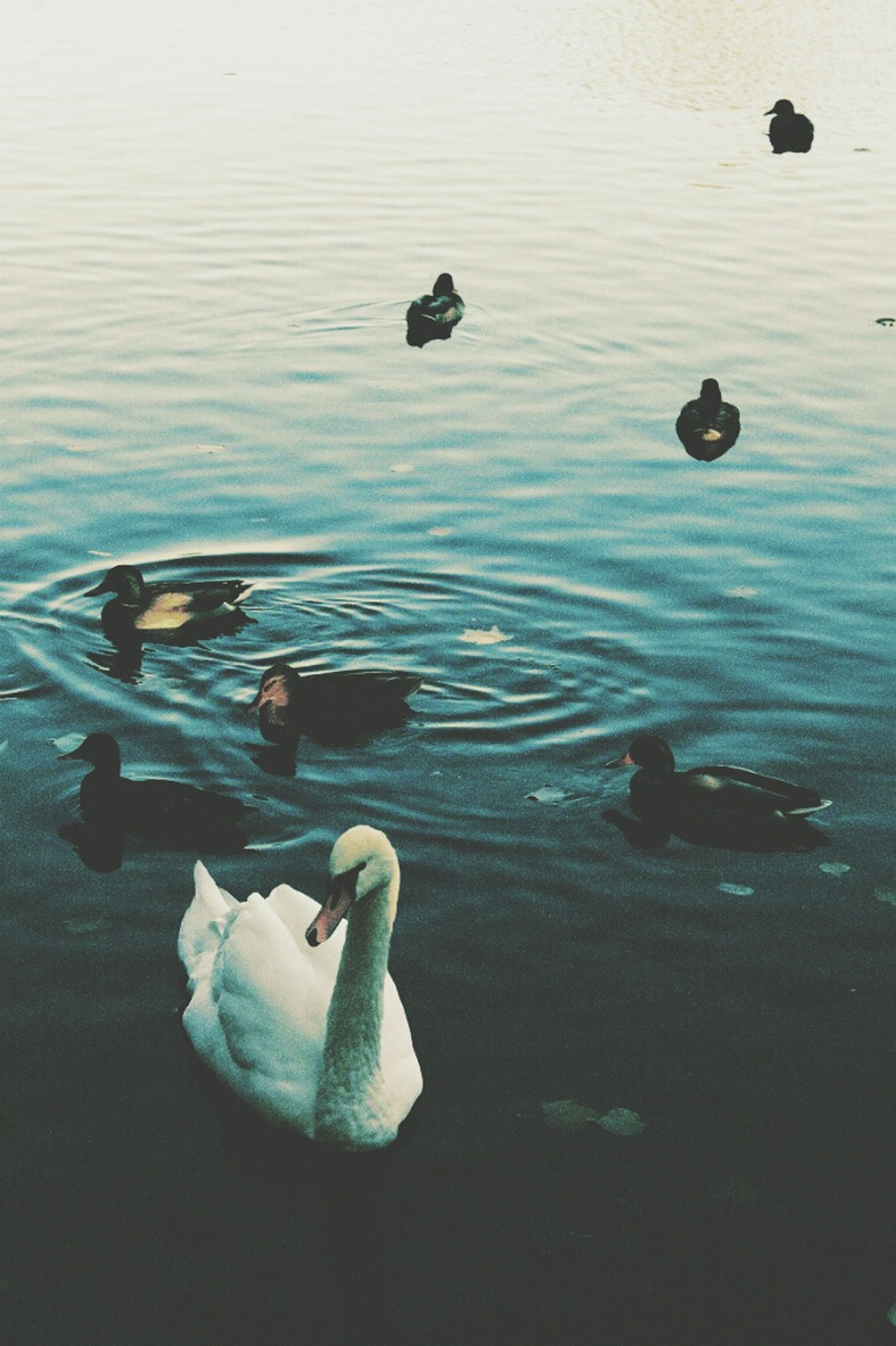 water, bird, lake, swimming, swan, animal themes, reflection, wildlife, waterfront, floating on water, animals in the wild, rippled, high angle view, nature, duck, tranquility, water bird, beauty in nature, outdoors, no people