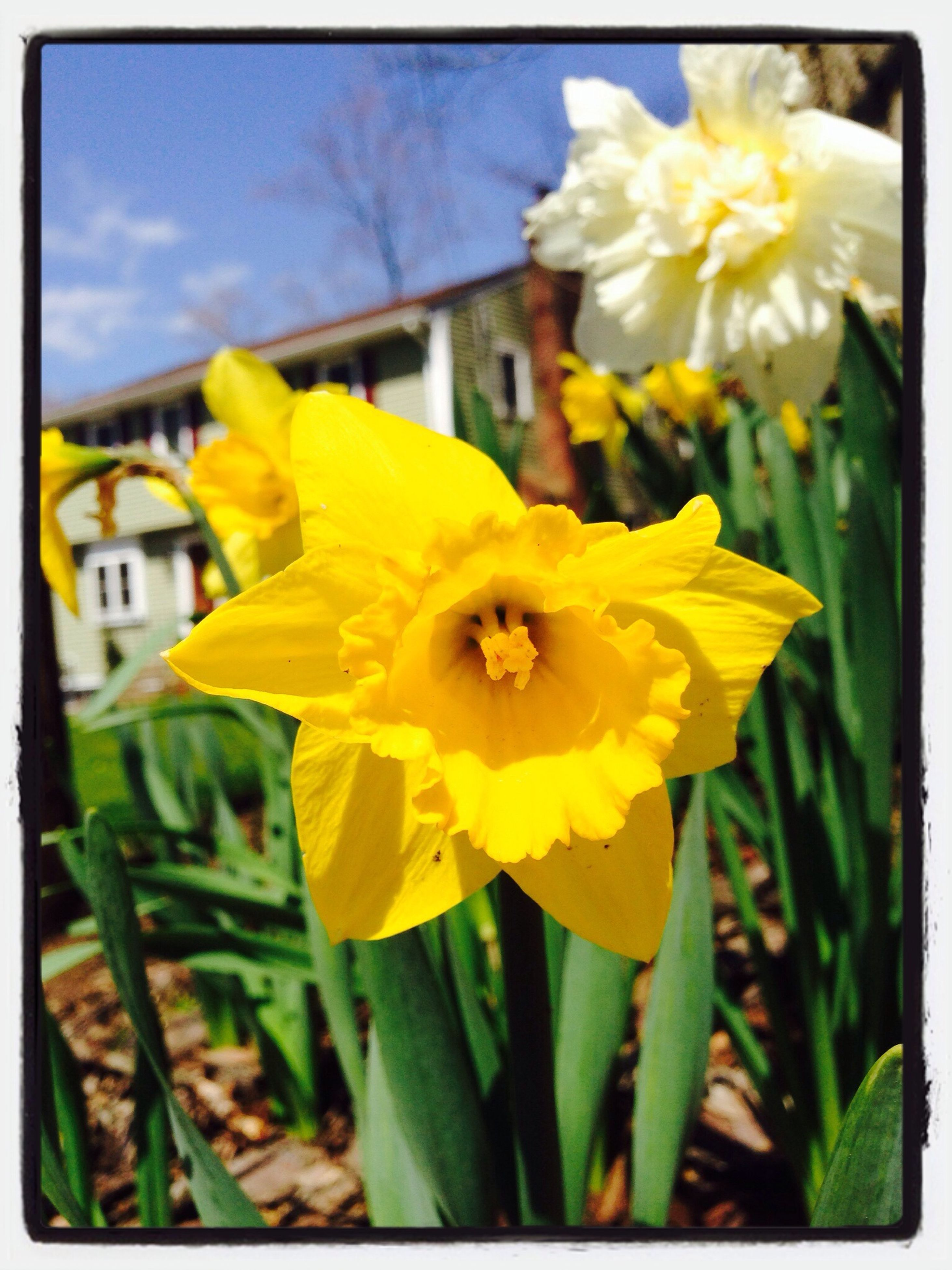 flower, petal, freshness, flower head, fragility, yellow, transfer print, growth, focus on foreground, close-up, beauty in nature, blooming, auto post production filter, plant, nature, pollen, in bloom, day, daffodil, outdoors