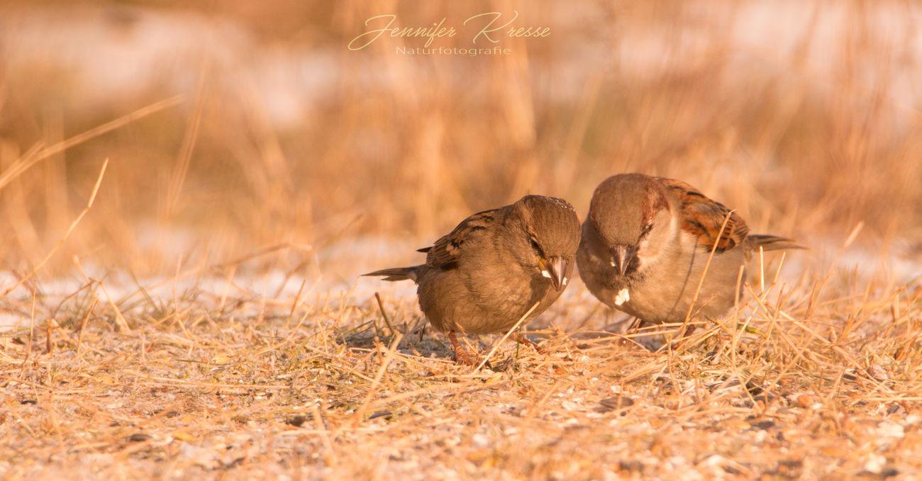 Naturfotografie Vogel Spatzen Tierfotografie