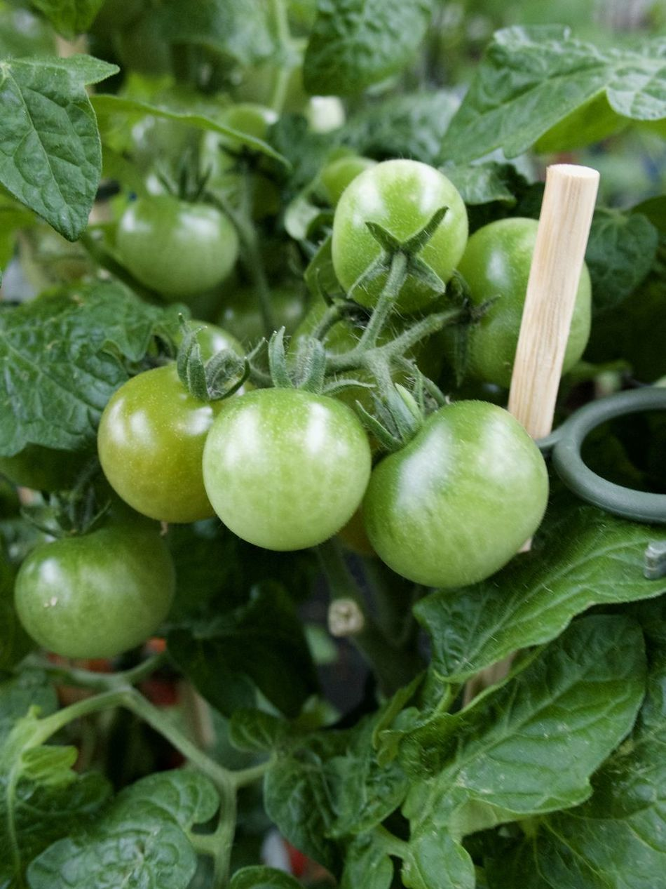 Agriculture Close-up Day Food Food And Drink Freshness Green Color Green Tomatoes Growth Healthy Eating High Angle View Leaf Nature No People Outdoors Vegetable