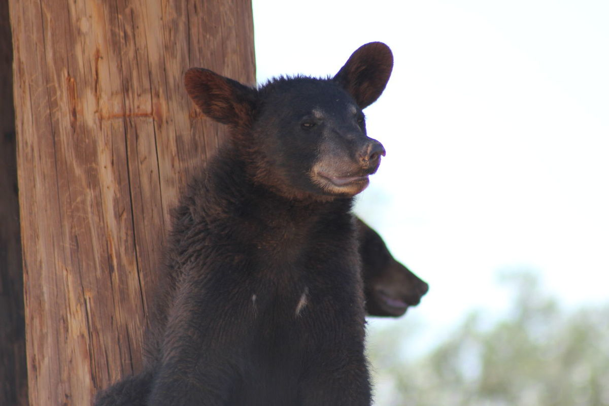 Animal Themes Bear Cubs Close-up Day Mammal Nature No People Outdoors Wildlife World Zoo