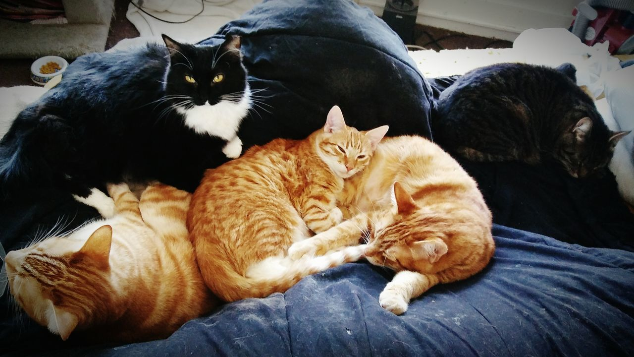 5 of my gorgeous babies.. Relaxation Animal Themes Domestic Animals Animal Family Young Animal No People Togetherness Pets Ginger Kittens Looking At Camera Indoors  Whiskers Blackcatbeauties Gingercat Gingercatsofinstagram Tuxedocatsrule Tabbycatsofinstagram Heart ❤ Cat Always Be Cozy