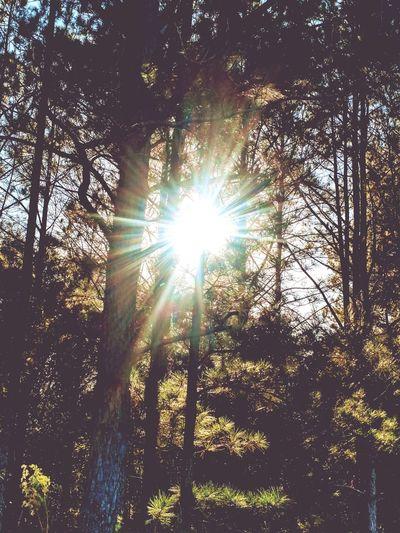 Sunbeam Through The Trees Sunbeam Lens Flare Low Angle View Sun Sunlight Nature Tree