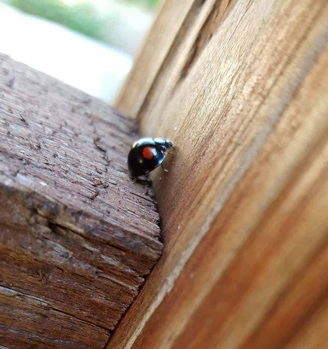 Twice-stabbed ladybird beetle, I do not see many of these around here. Beauty In Nature Beetle Bug Beetle Insect Nature Beetles Bugs Close-up Insect Ladybeetle Ladybug Ladybug🐞 One Animal