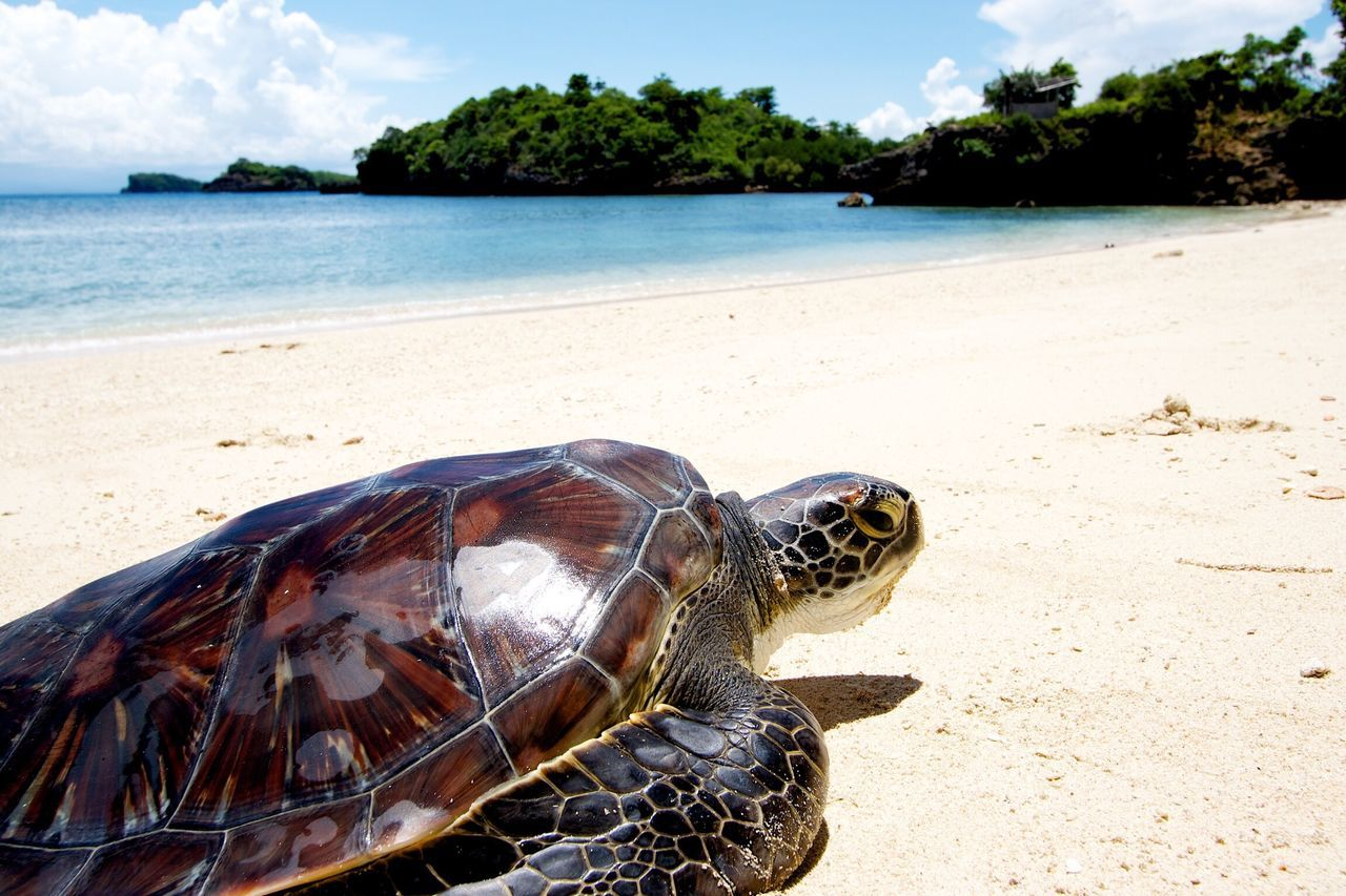 Turtle Sea Animal Themes Nature Animals In The Wild Water Beach Beauty In Nature One Animal Sand Day Tree Outdoors Animal Wildlife Reptile No People Sky Sea Turtle Tortoise Mammal