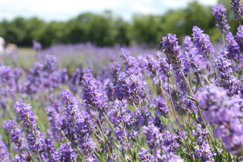 Beauty In Nature Blue Lavender Energy Fields Flower Freshness Lavender Lavender Field Lavender Oils Lavender Scent Nature No People Outdoors Purple Flower Quiet Relax Tranquility Zen