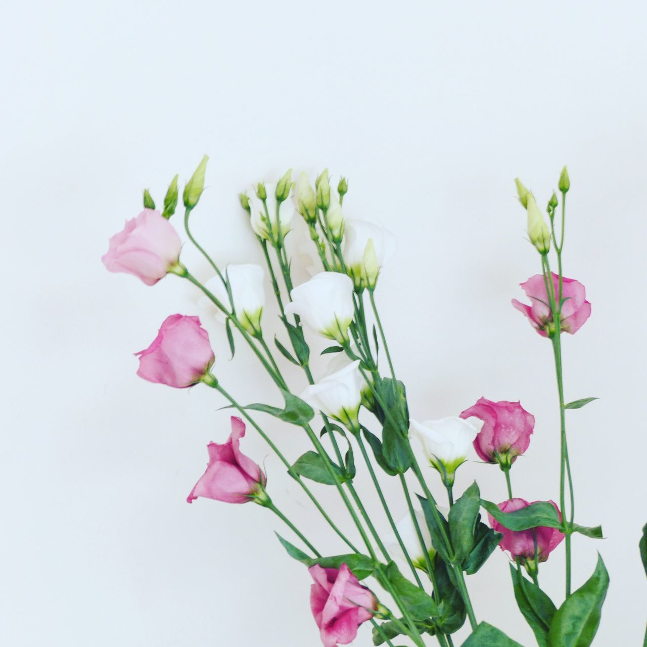 Close-Up Of Fresh Pink Flowers Against White Background