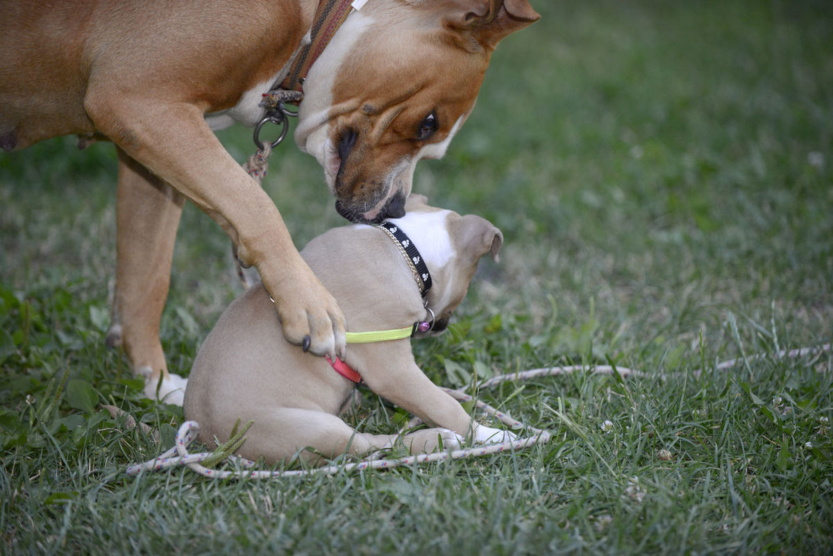 amstaff American Staffordshire Terrier Amstaff Amstaff Love ❤ Baby Backyard BIG Cute Emotion Female Full Frame Grass Humor Mother People Pet Plant Playful Dog Playfull Photography Small Staffordshire Bull Terrier
