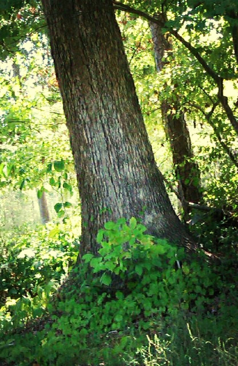 tree, tree trunk, growth, forest, nature, green color, branch, tranquility, leaf, beauty in nature, wood - material, plant, woodland, sunlight, outdoors, day, no people, close-up, moss, growing