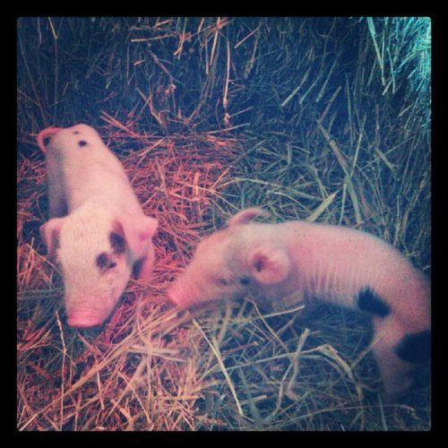 Teeny tiny baby piglets!