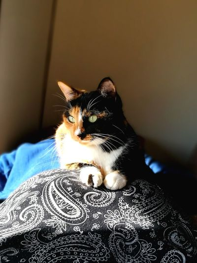 cat on the hip Calico Cat Hip Relaxation Girl Sitting Cat Cute Love Cat Pets Domestic Cat Indoors  Animal Themes Portrait