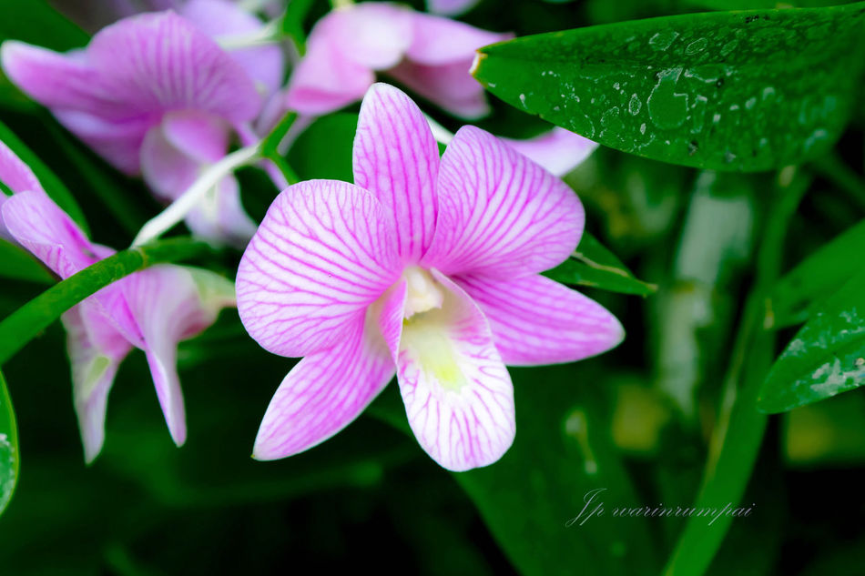 StreamzooFlowers Orchids Flower Eyem Nature Lovers