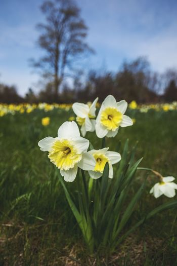 Beautiful Narcissus Poeticus all around! Blossom Tulip Flower Nature Growth Fragility Beauty In Nature Plant Yellow Freshness Petal Blooming Focus On Foreground Eyeem Market EyeEm Gallery Photooftheday Editorial  Ottawa Canada Bokeh Macro Outdoors No People Day Close-up