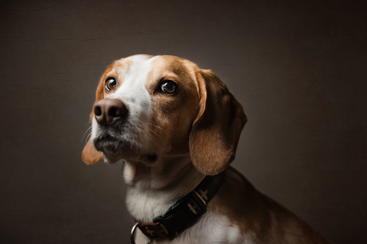 Alertness Beagle Black Background Close-up Cute Dog Focus On Foreground Hound Lifestyles Mammal Part Of Pet Pets Portrait Studio Studio Shot Vignette