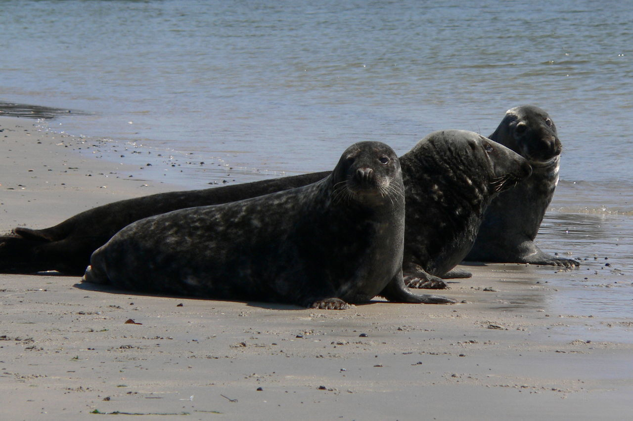 Animal Animal Behavior Animal Themes Beach Calm Helgoland Mammal Nature No People Non-urban Scene Ocean Relaxation Resting Sand Sea Seal Shore Tranquil Scene Tranquility Water Zoology