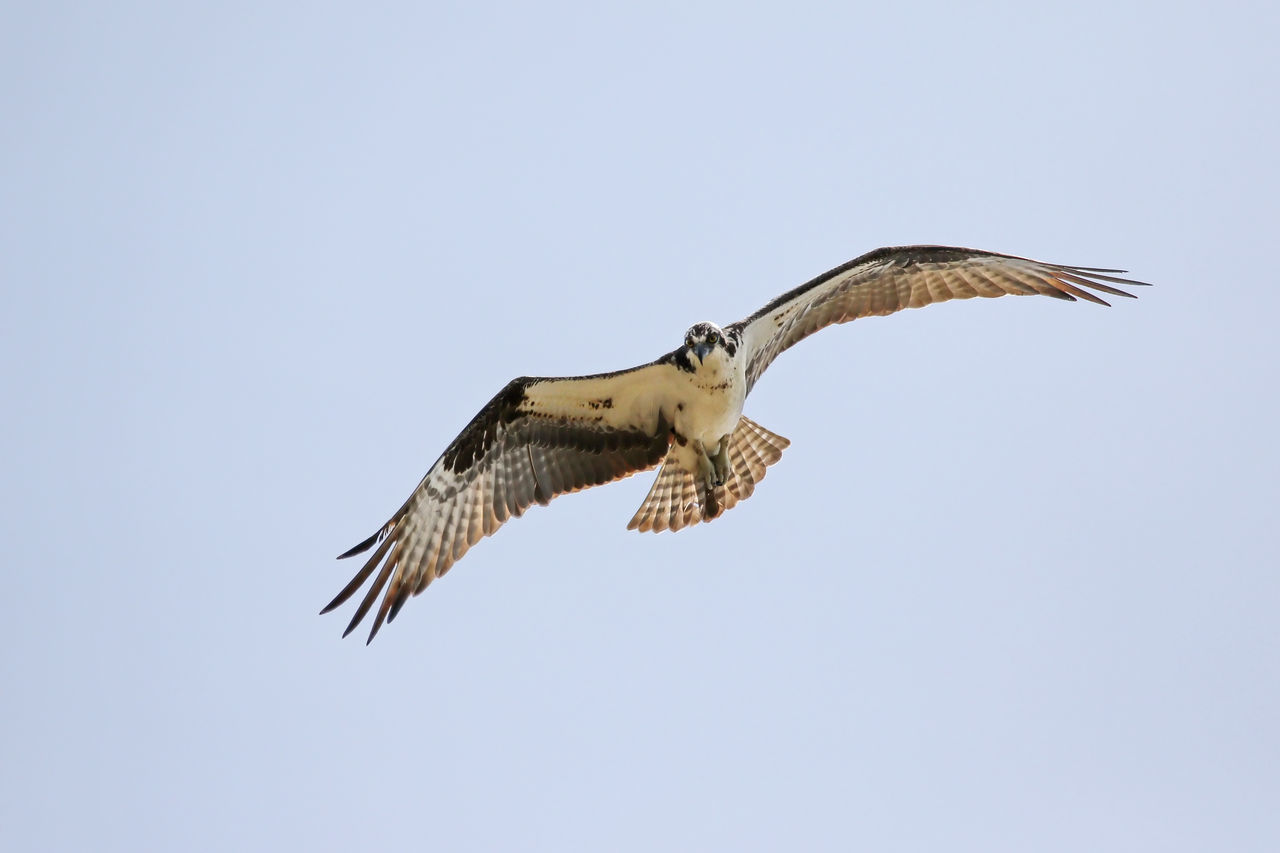 Low Angle View Of Osprey Flying Against Clear Sky