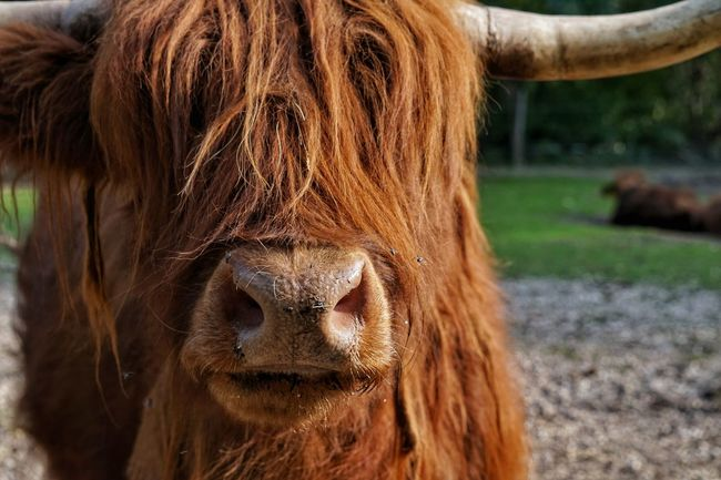 Outdoors Beautiful Creature Cant See Highland Cattle Beautiful Nature Beautiful Orange Brown Nature Animal Zoo The Week On EyeEm