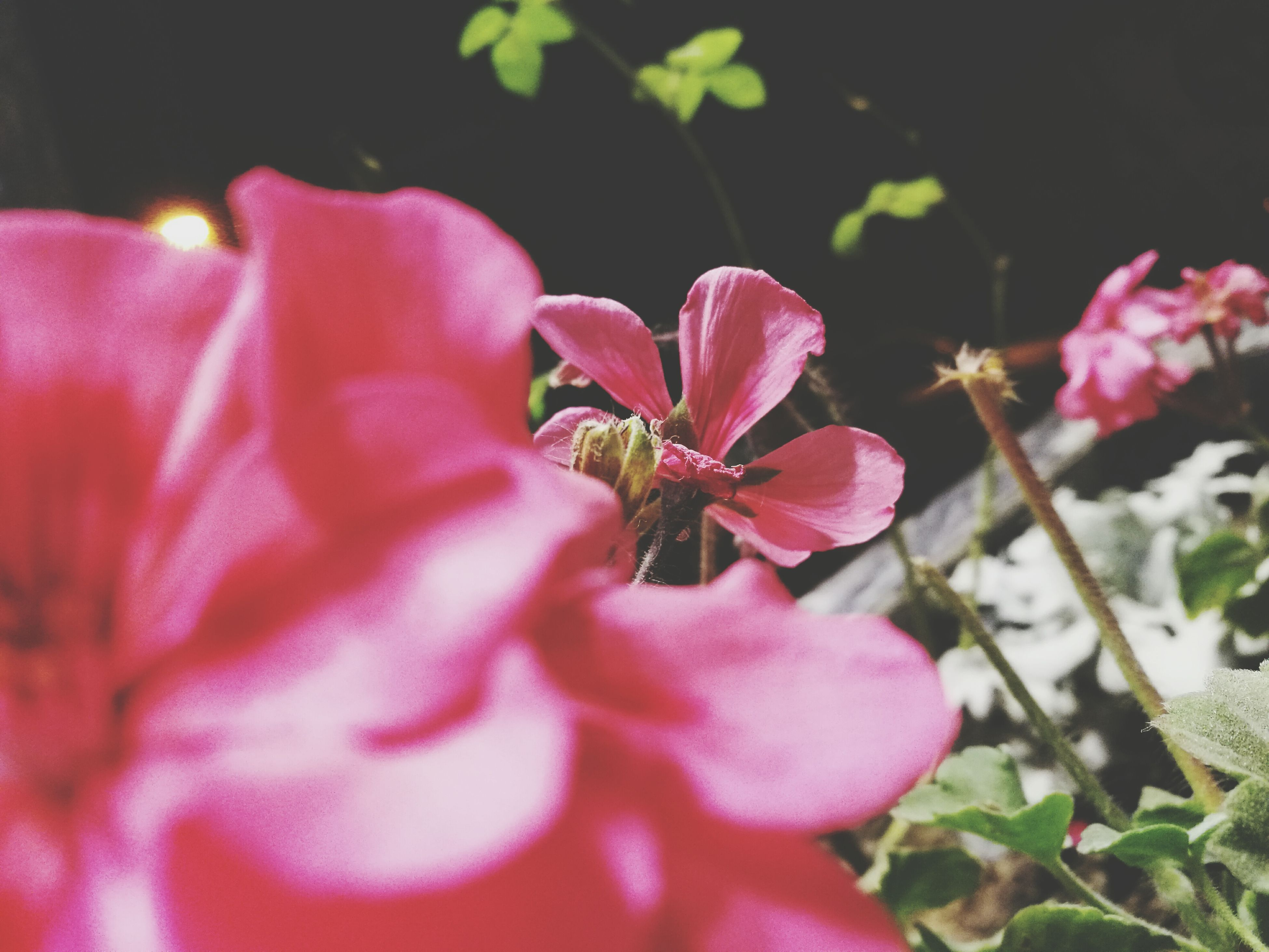 flower, petal, pink color, growth, fragility, beauty in nature, nature, plant, flower head, freshness, close-up, outdoors, blooming, day, no people