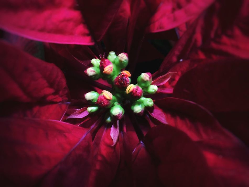 Flower Fragility Nature Petal Beauty In Nature Freshness Flower Head Growth Close-up Pollen No People Day Poinsettia Christmas Christmas Is Coming EyeEm Best Shots