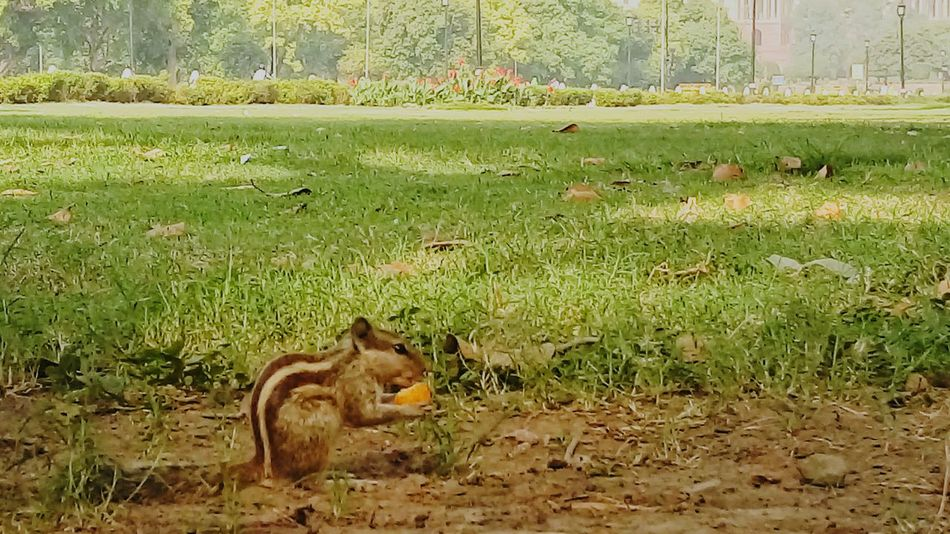 Squirrel having cheese ball.. Squirrel
