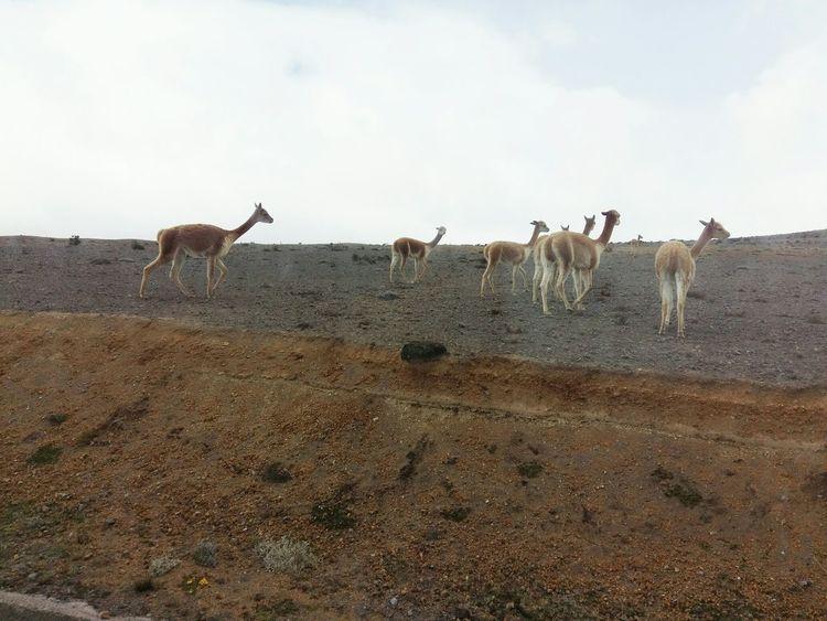 Llamas - Reserva Faunistica del Chimborazo Ecuador