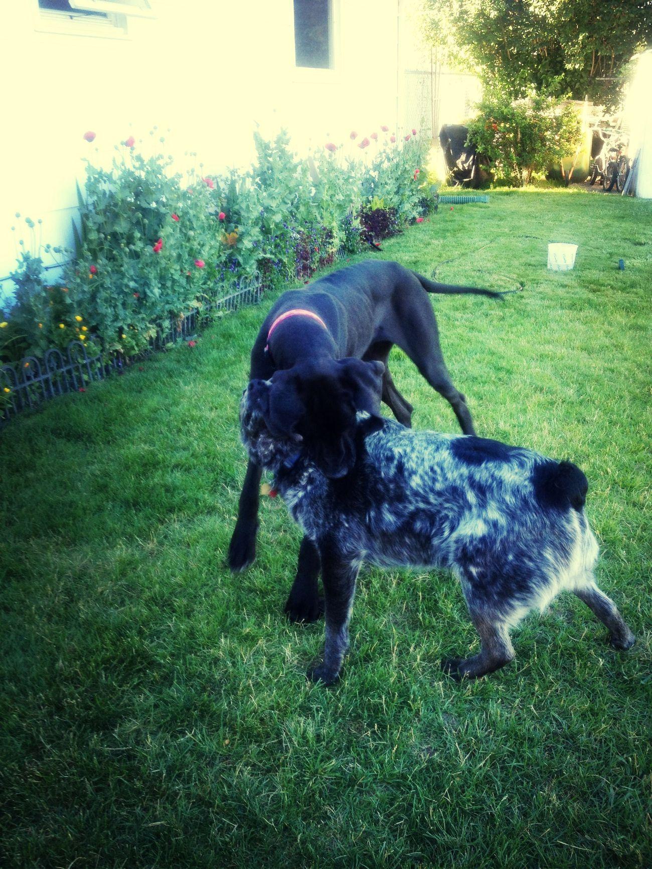 Dogs Great Dane Blue Heeler Playing