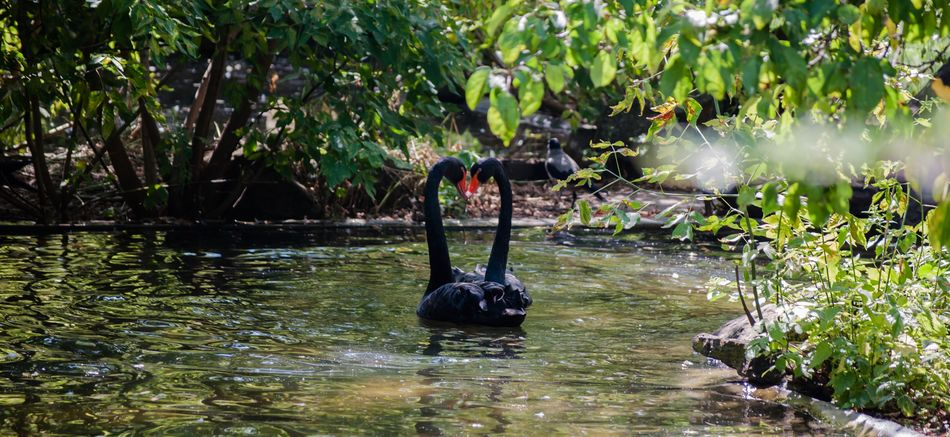 Beauty In Nature Black Swan Black Swans Day Lake Love Nature No People Outdoors Reflection Swan Swan Family Swan Love Swans ❤ Swiming Tree Water Water Reflections