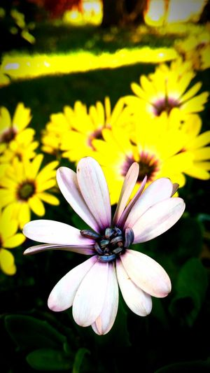 African Daisies Flower Petal Fragility Flower Head Beauty In Nature Nature Blooming Focus On Foreground Yellow Osteospermum Close-up Day Outdoors Purple Flower Purple And Yellow Flowers African Daisies African Daisy Garden Photography Garden Flowers Flowers,Plants & Garden Flower Collection