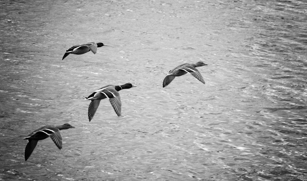 #flying #ducks over #water #birds #nature #wildlife